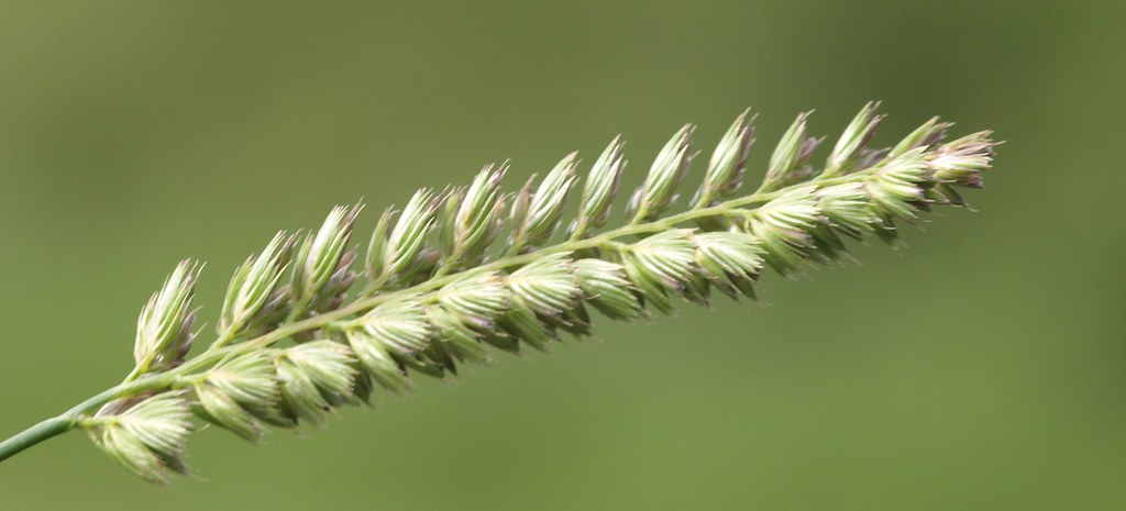 Crested Dog S Tail Grass Cynosurus Cristatus Held At