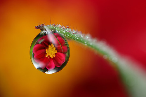 Dahlia dewdrop refraction #4 | by Lord V