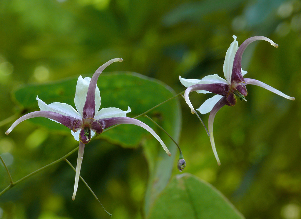 epimedium acuminatum 1 best viewed large size berberida flickr. Black Bedroom Furniture Sets. Home Design Ideas