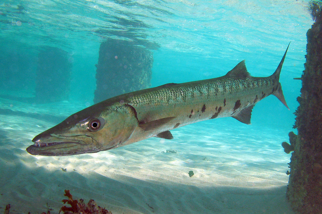 Barracuda grand cayman this barracuda is a local for Fishing grand cayman