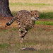 Cheetah Run 3