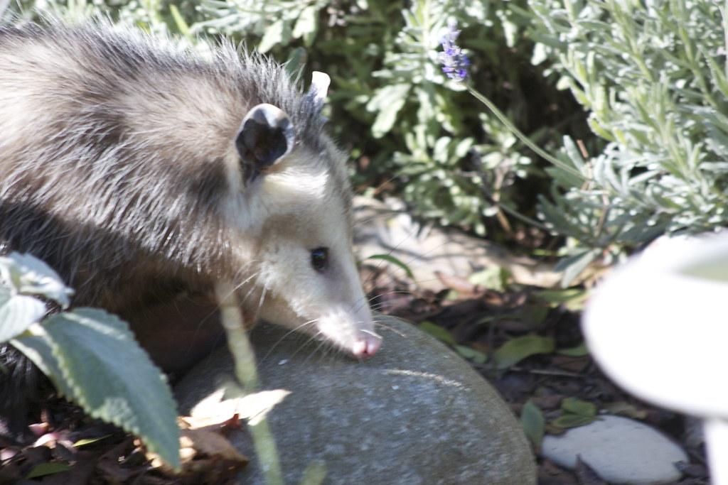 Possum 2 crossing garden possum 2 heading across - How to get rid of possums in the garden ...