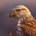 The Long-legged Buzzard (Buteo rufinus)