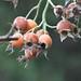 Winter Berries close up
