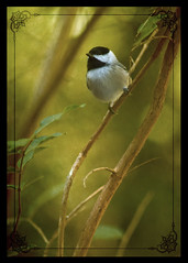 Chickadee in the Crepe Myrtle