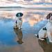 Beach Dogs.