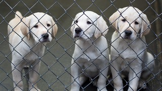Guide Dog puppies | by niallkennedy