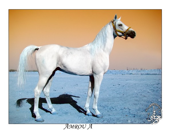arabian-hourse | Flickr - Photo Sharing!