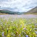 Italy, Apennine Mountains, Umbria, 'Violet Blue', Castelluccio di Norcia, Flower Fields