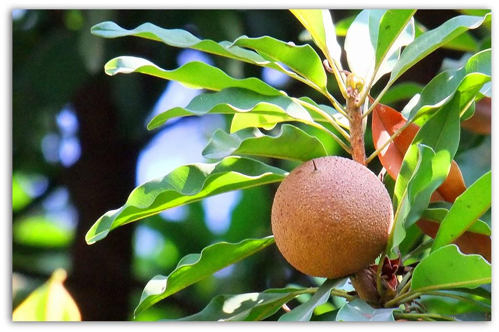 Zapote Fruta Mexicana Deliciosa Fruta Mexicana