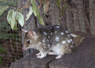 Eastern Quoll (pale form) | by Nuytsia@Tas