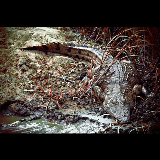 African Crocodile - Zambezi River | Zambezi River - Zambia ...