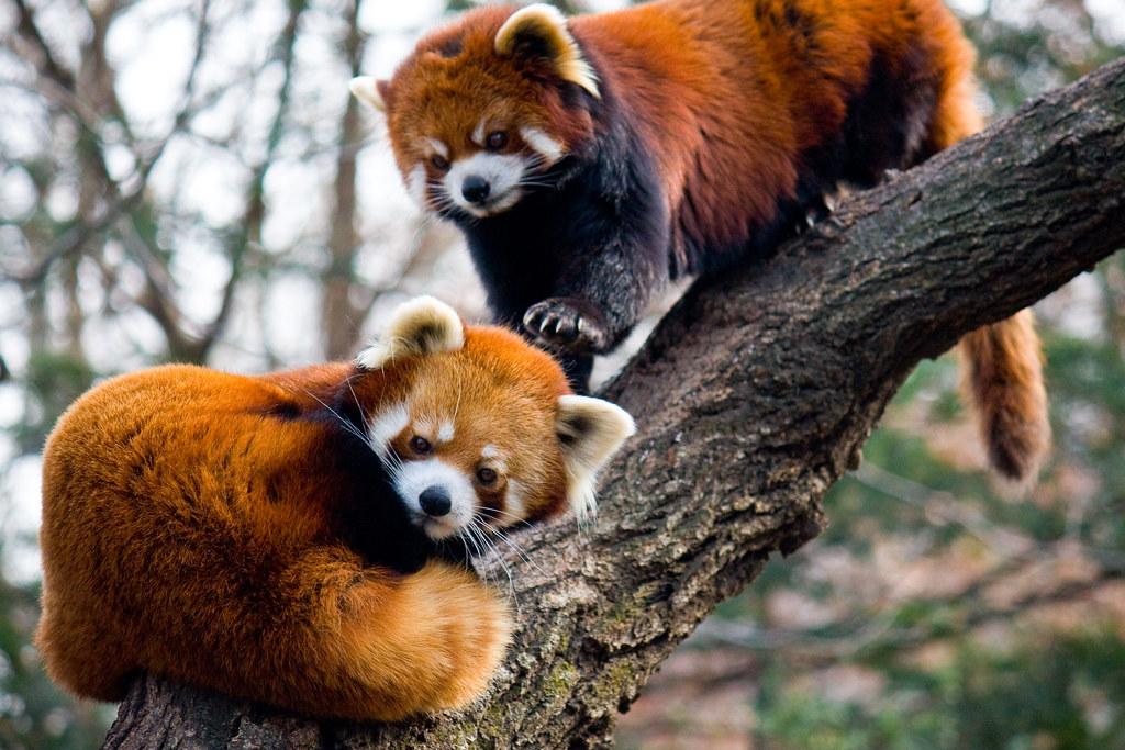 Red pandas, Prospect Park Zoo | Explore gsz's photos on Flic ...