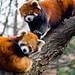 Red pandas, Prospect Park Zoo