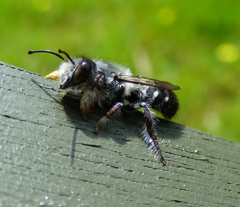 Resin bee Megachile species