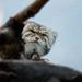 Pallas's cat, Prospect Park Zoo