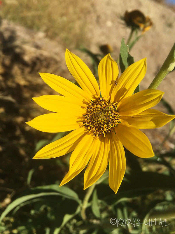 IMG_5249Sunflower