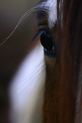 Xerxes close up by 1 Horseman.