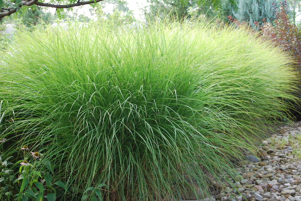 miscanthus sinensis 39 gracillimus 39 nick mccullough flickr. Black Bedroom Furniture Sets. Home Design Ideas