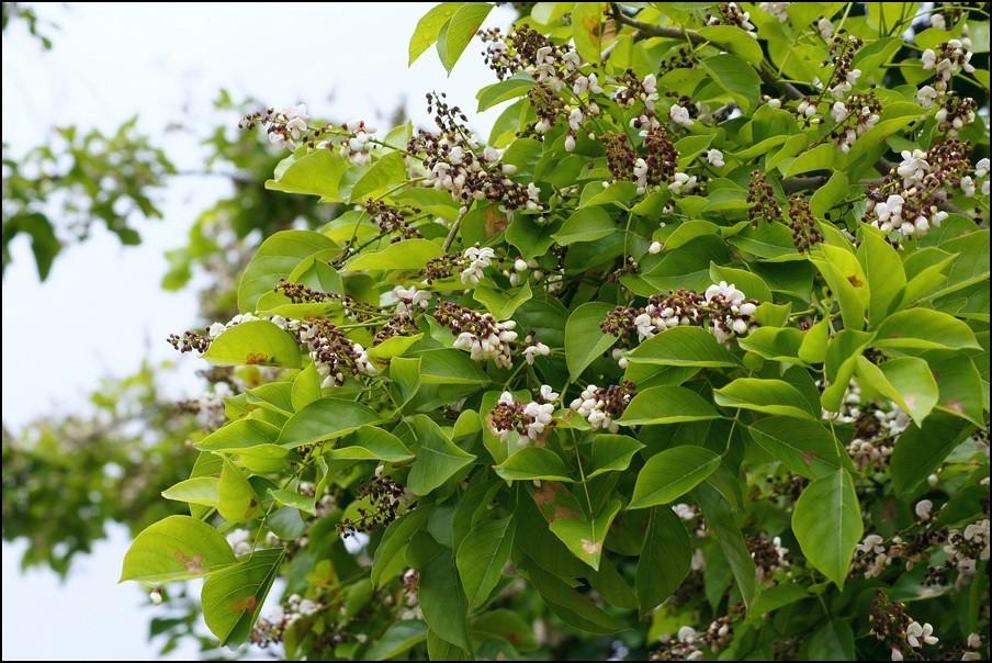 Pongam Flowering Tree Millettia Pinnata Millettia