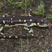 California Tiger salamander Ambystoma californiense