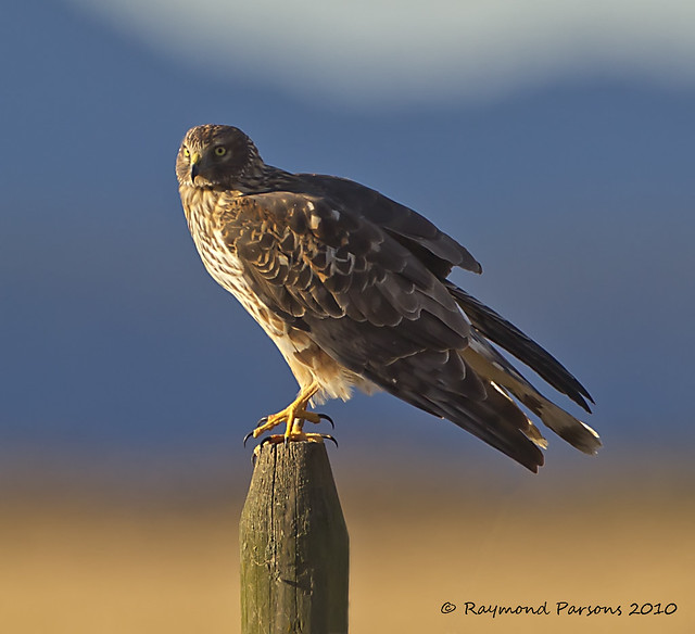Northern Harrier (Female) | Flickr - Photo Sharing!