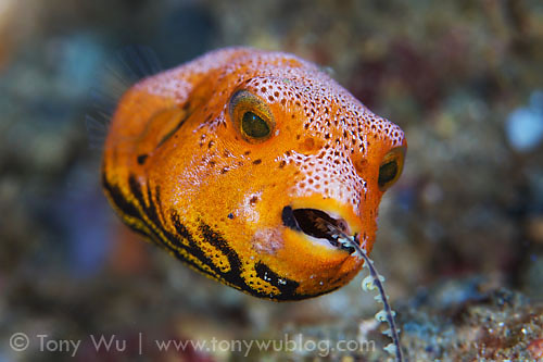 Baby pufferfish eating juvenile star pufferfish eating for Puffer fish for sale