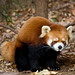 Red panda, Prospect Park Zoo
