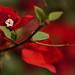 Bougainvillea Red