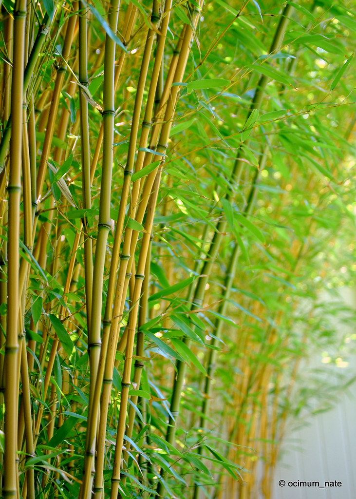 Yellow Groove Bamboo Ocimum Nate Flickr