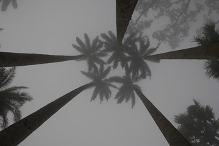 Looking up through early morning mist at palm trees | by World Bank Photo Collection