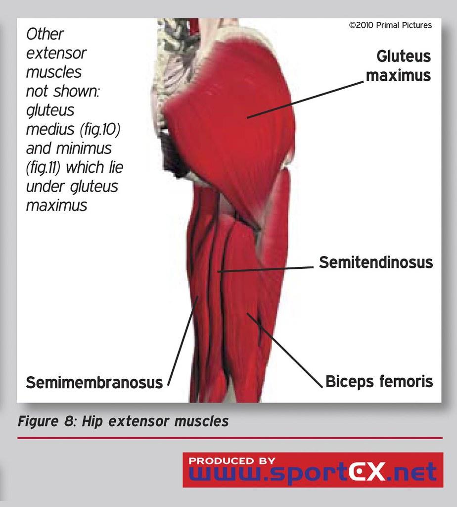 Hip Extensor Muscles images