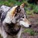 Yazhi ~ (Wolf) ~ Portland Oregon Zoo ~ 6022 copyC ~ 2242 copy copy