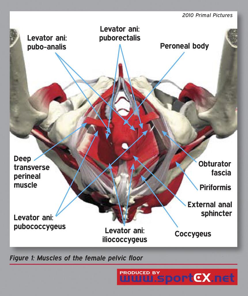 Pelvic Floor Muscle Anatomy
