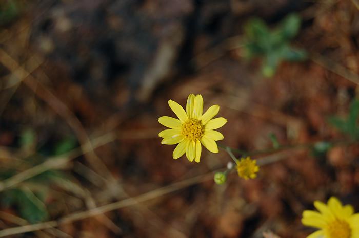 Sonki   Flower of Sene...