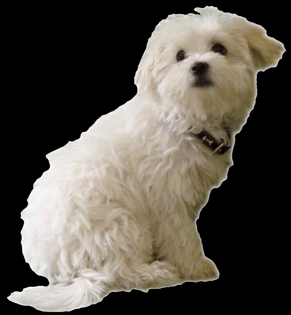 maltese dog clipart - photo #25