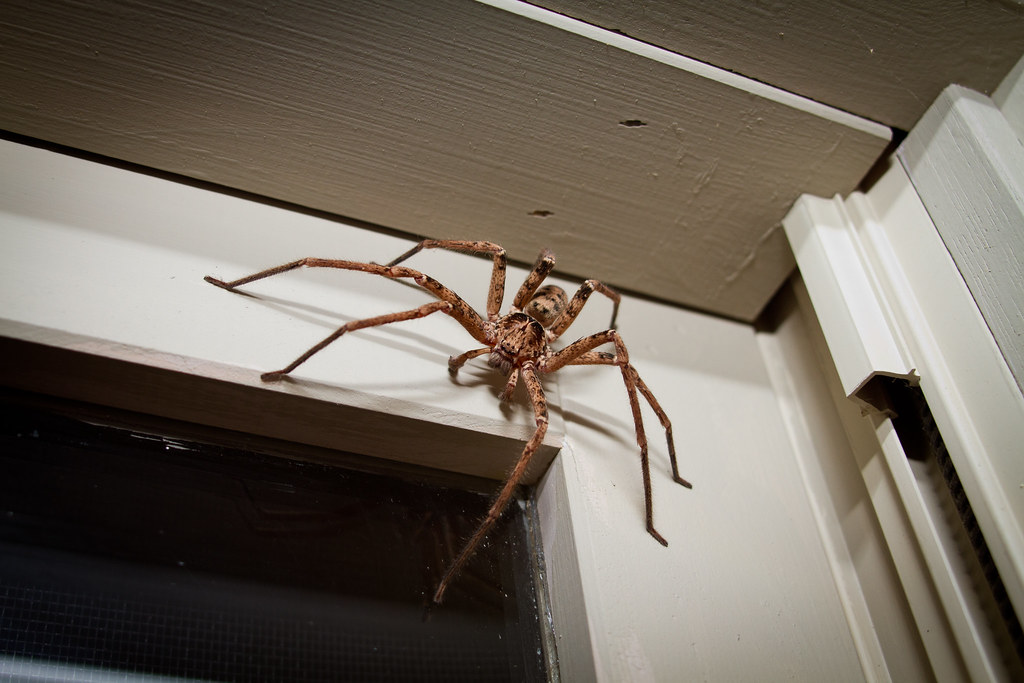 Australian Brown Huntsman You Know It S A Big Spider