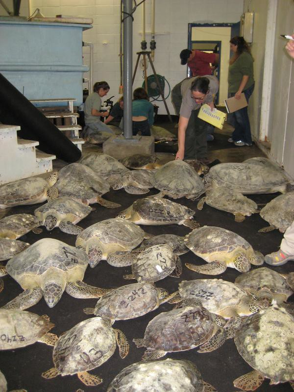 Processing turtles at tpwd hatchery hundreds of for Fish hatchery jobs