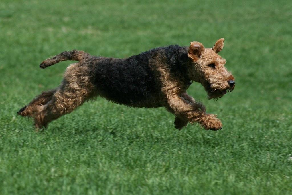 Free Running Dog