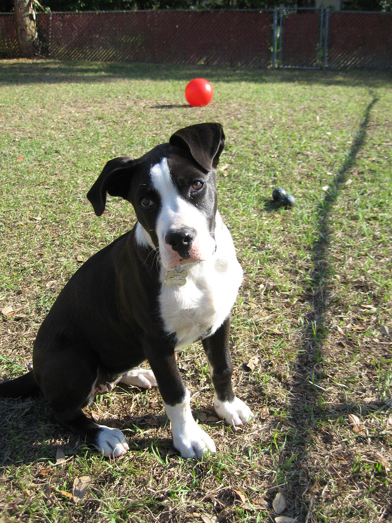 Hera, a Black & White Boxer Mix Breed Puppy   My Little ...