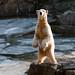 Knut - Zoo de Berlin