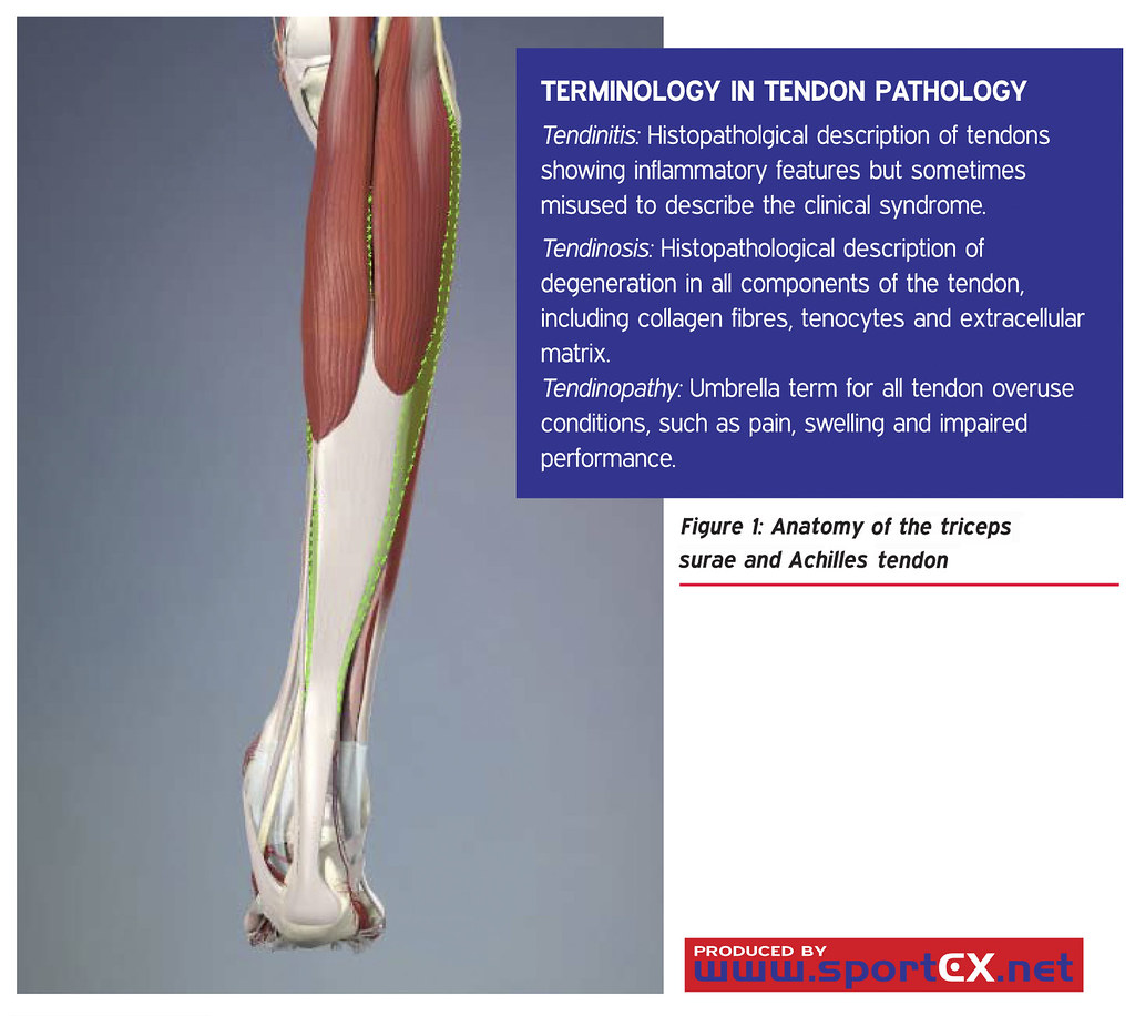 Anatomy of the triceps surae and Achilles tendon | sportEX m… | Flickr