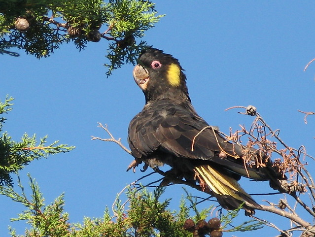 Yellow-tailed Black Cockatoo | Flickr - Photo Sharing!