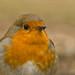 robin close up 2