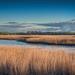 River Forth Reeds