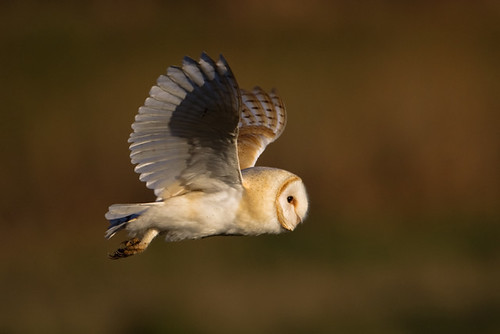 Barn Owl  - IMGL5712 | by nigel pye