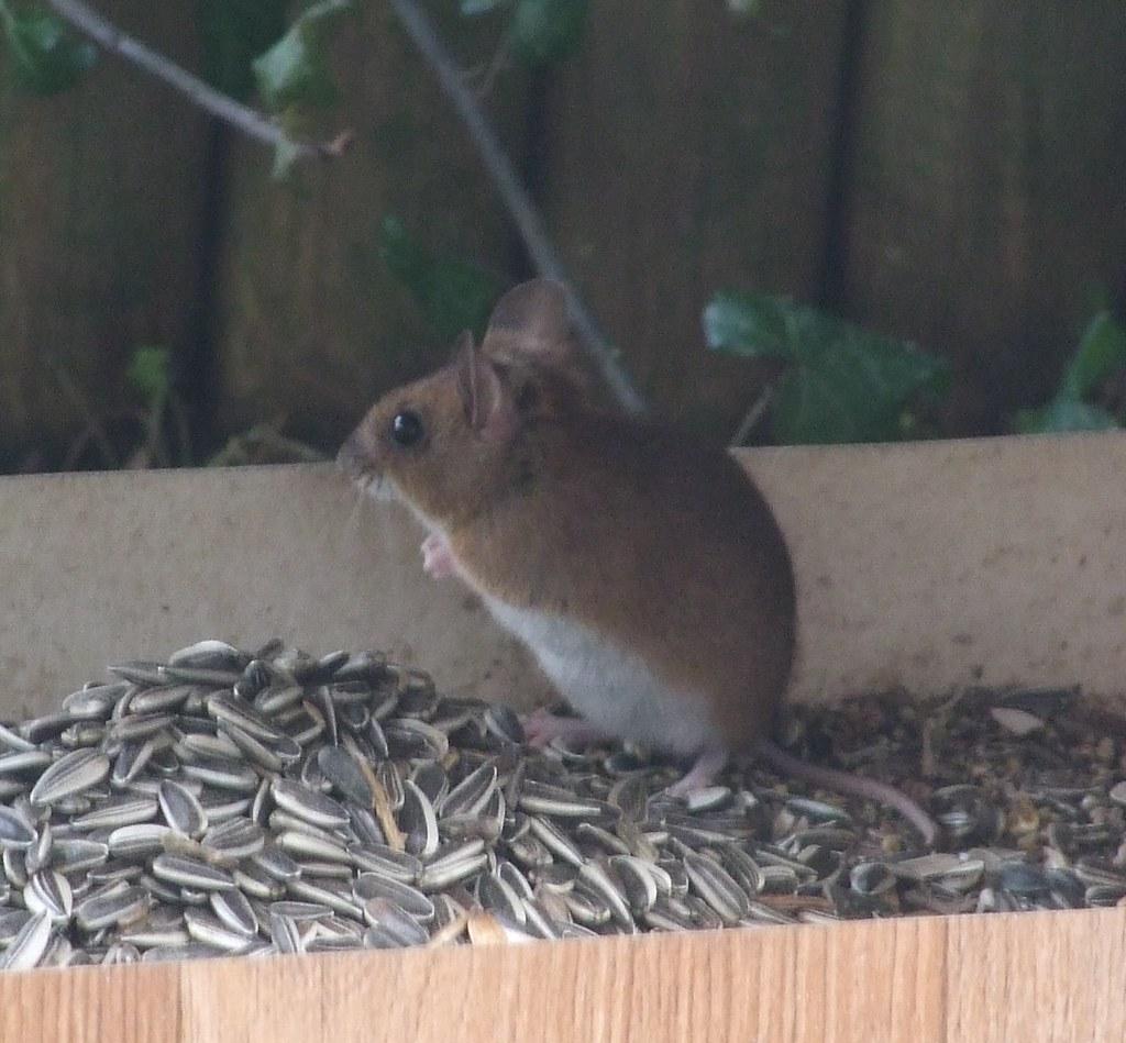 dr le d 39 oiseau les souris ici c 39 est un mulot dans flickr. Black Bedroom Furniture Sets. Home Design Ideas