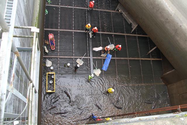Bonneville dam sturgeon removal img 3052 flickr photo for Bonneville dam fish camera