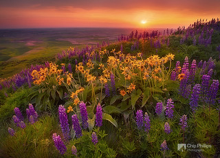 Field of Flowers, Palouse | by Chip Phillips