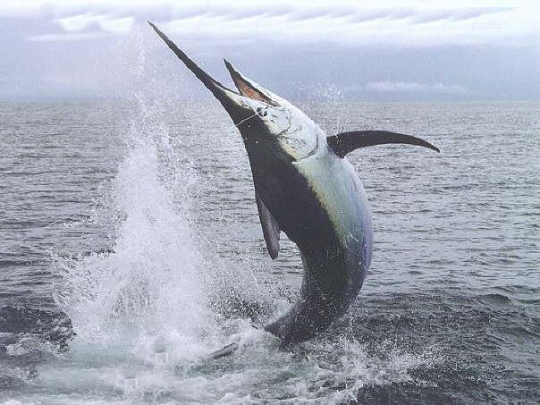 Espadon Sword Fish Xiphias Gladius Exporter Africa Senega Flickr